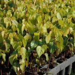 muda nativa urucum do mato